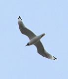 Franklin's Gull adult breeding