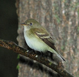 Traill's Flycatcher, likely
