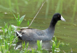 American Coot male