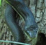 Black Rat Snake - head