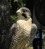 Peregrine Falcon - - - - 2006 -->