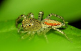 Maevia inclemens - Dimorphic Jumping Spider ??