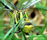 Sulfur-tipped Clubtail