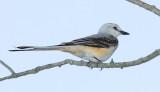 Scissor-tailed Flycatcher juvenile