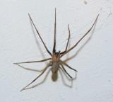 Brown Recluse spider - Venomous!