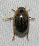 Water Scavenger Beetle - Topisternus collaris