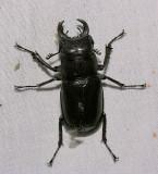 Cottonwood Stag Beetle - Lucanus mazama
