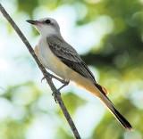 Scissor-tailed Flycatcher fledgling