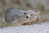 Citrus Flatid Planthopper - Metcalfa pruinosa