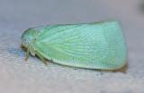 Flatid Planthopper - Anormenis chloris