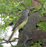 Great Crested Flycatcher 2