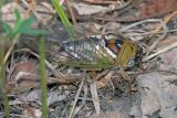 Cicada - unidentified
