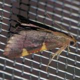 5529 Paler Dolichomia - Dolichomia thymetusalis