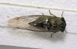 Cicada Sep 11/06