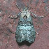 5597 Black-letter Pococera  - Pococera melanogrammos