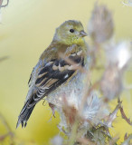 American Goldfinch female October