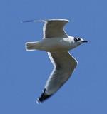 Franklin's Gull adult nonbreeding