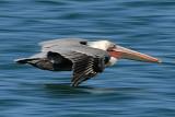 Pacific Brown Pelican 2