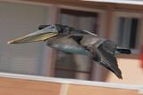 Pacific Brown Pelican 3