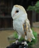 Barn Owl - - - - 2007 -->