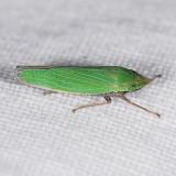 Draeculacephala species
