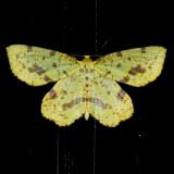 Geometridae (6256 - 6844)