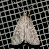 5492 Wainscot Grass-veneer - Eoreuma densella