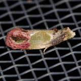 Olethreutinae (2701 - 3500)