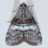 5597  Black-letter Pococera Moth - Pococera melanogrammos