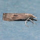 5451 Bluegrass Webworm - Parapediasia teterrella