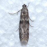 5944.99 Homoeosoma Moth - Homoeosoma nr. deceptorium