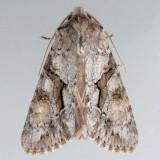 10518 Distinct Quaker - Achatia distincta