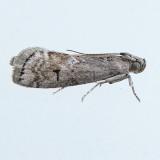 5926  Elm Leaftier Moth – Canarsia ulmiarrosorella