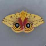 7746 Io Moth - Automeris io