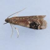 5995 American Plum Borer - Euzophera semifuneralis
