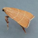 5538 Parachma Moth - Parachma ochracealis