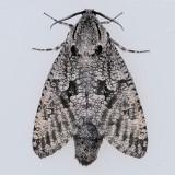 2693  Carpenterworm - Prionoxystus robinae
