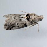 5774  Salebriaria annulosella
