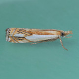 5362 Double-banded Grass-veneer - Crambus agitatellus