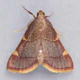 5533 Yellow-fringed Dolichomia - Dolichomia olinalis