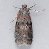 5796  Locust Leafroller  - Sciota subcaesiella