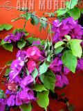 Bougamibilia against rust wall