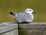 Laughing Gull Resting