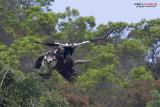Aquila imperiale iberica (Aquila adalberti)