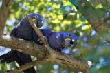 Hyacinth Macaw - Pantanal