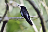 Black Jacobin