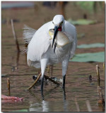 Great Egret - with lunch