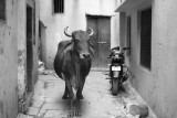 Cow in black and white.jpg
