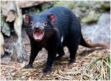 2976 Tasmanian Devil