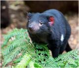 2980 Tasmanian Devil
